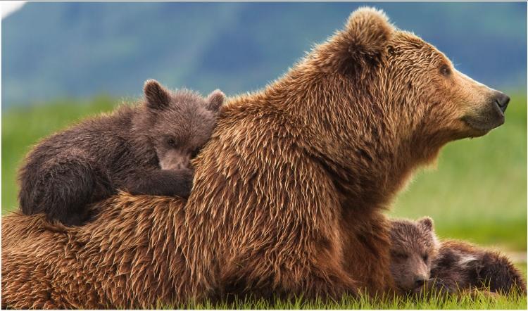 Bears Film